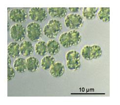 Microcystis - jednotlivé bunky