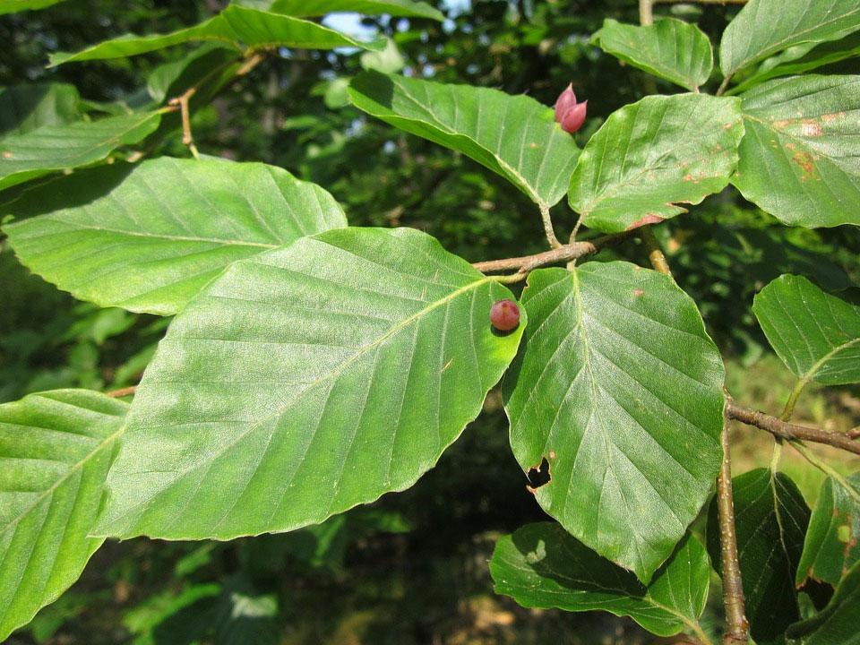 Buk lesný (Fagus sylvatica) - listy s hálkami
