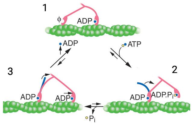 Funkcia myozínu II