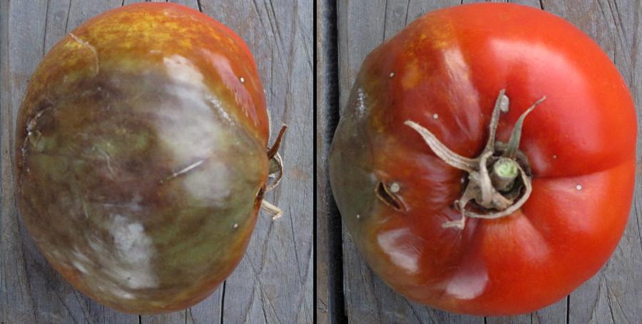 Fytoftóra zemiaková na plodoch rajčiaku