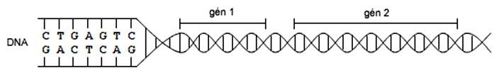 Schematické znázornenie génu na dvojzávitnici DNA