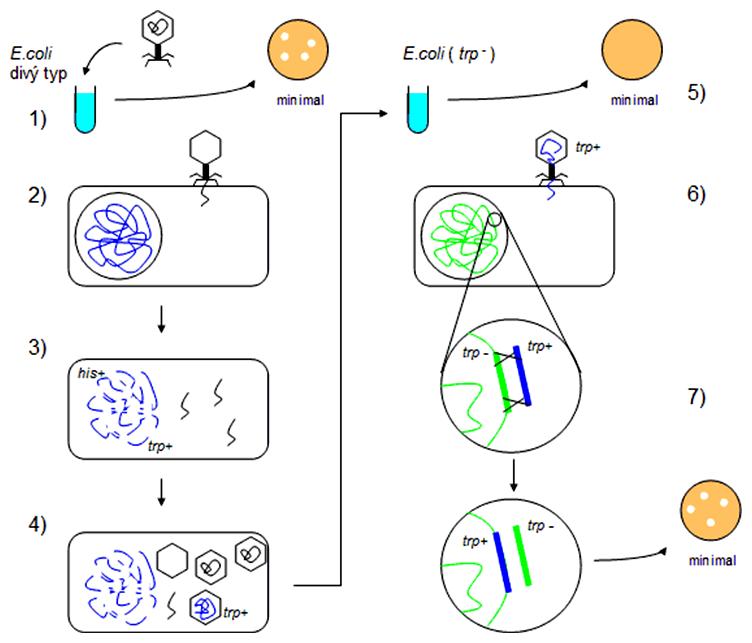 Schéma priebehu generalizovanej transdukcie
