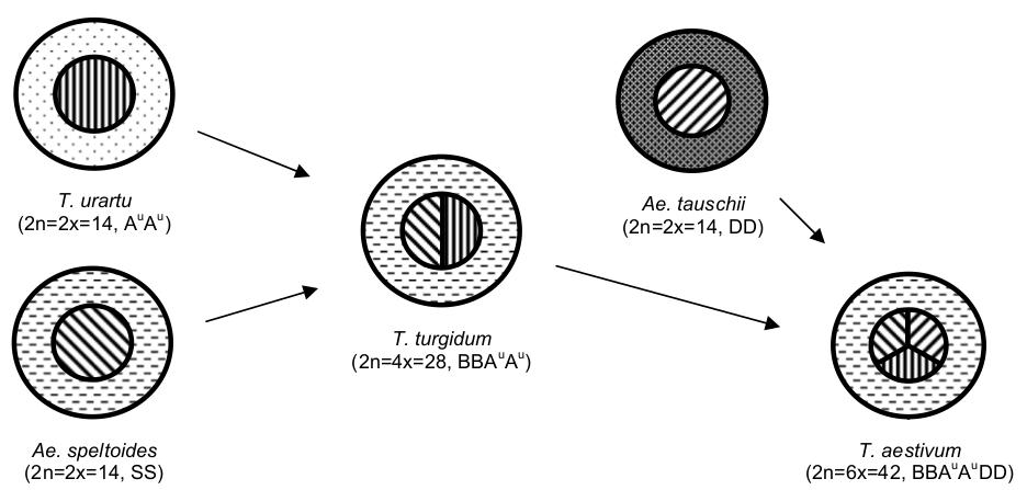 Schematické znázornenie evolúcie pšenice letnej; vonkajší kruh - genóm cytoplazmy, vnútorný kruh - jadrový genóm