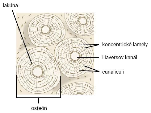 Haversov osteón