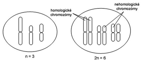 Homologické a nehomologické chromozómy