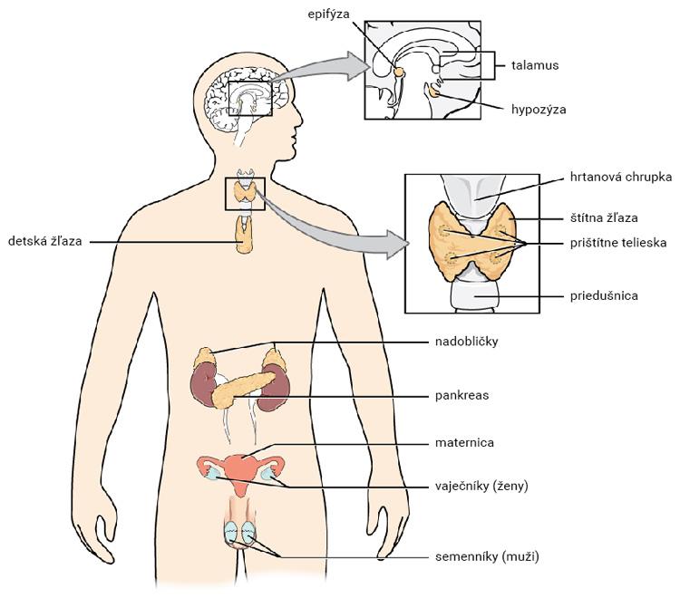Orgány s endokrinnou funkciou