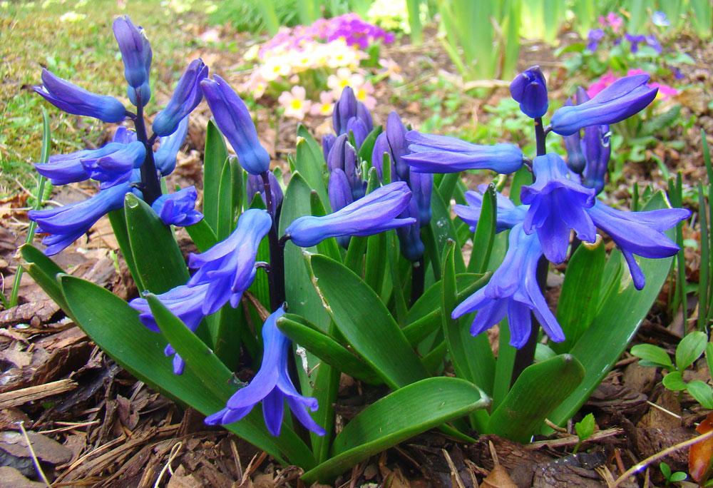 Hyacint východný