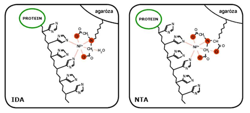 Schéma interakcie proteínu s matricou IDA alebo NTA