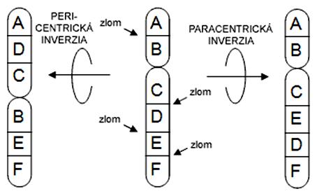 Schéma pericentrickej a paracentrickej inverzie