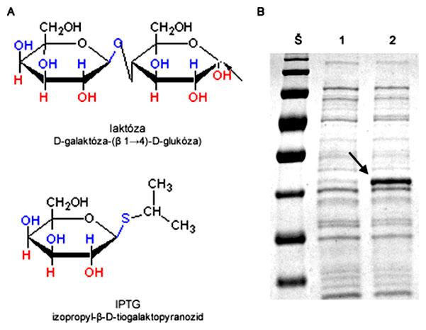 Štruktúrny vzorec laktózy a IPTG a SDS-PAGE celkového proteínového extraktu z buniek E. coli pred a po indukcii expresie rekombinantného proteínu pomocou IPTG