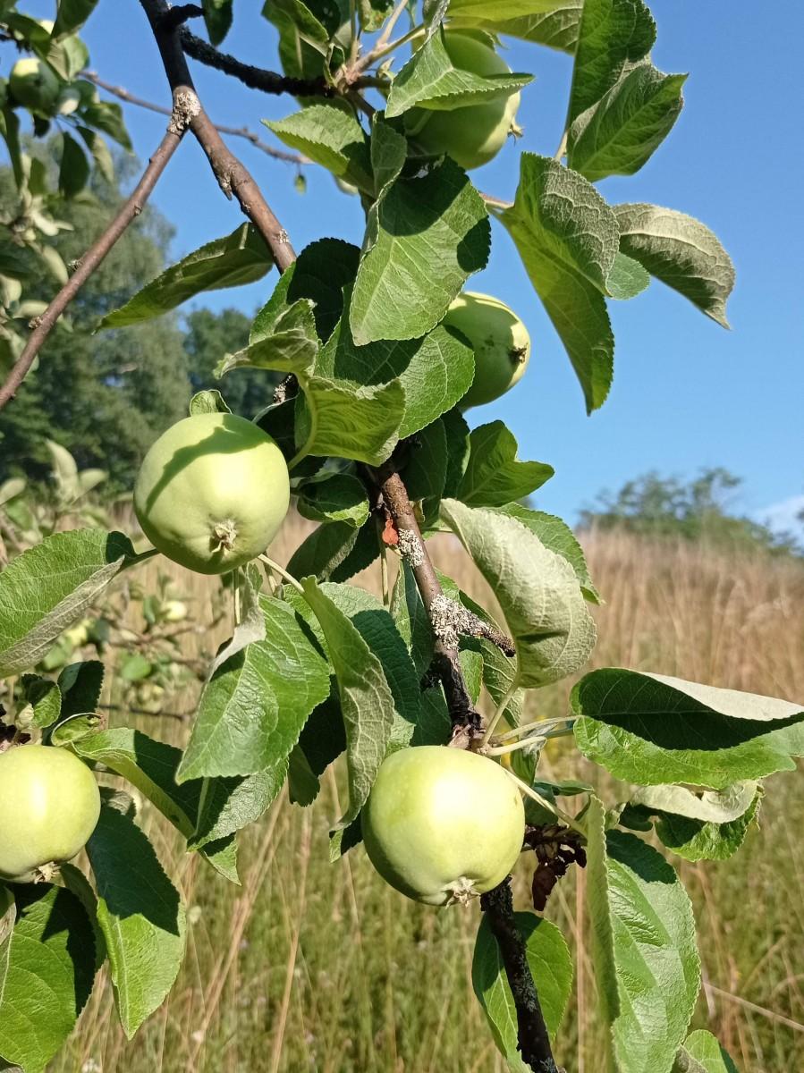 Jabloň domáca
