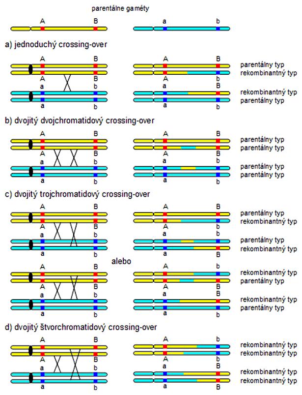 Schéma vzniku jednoduchého a dvojitého crossing-overu