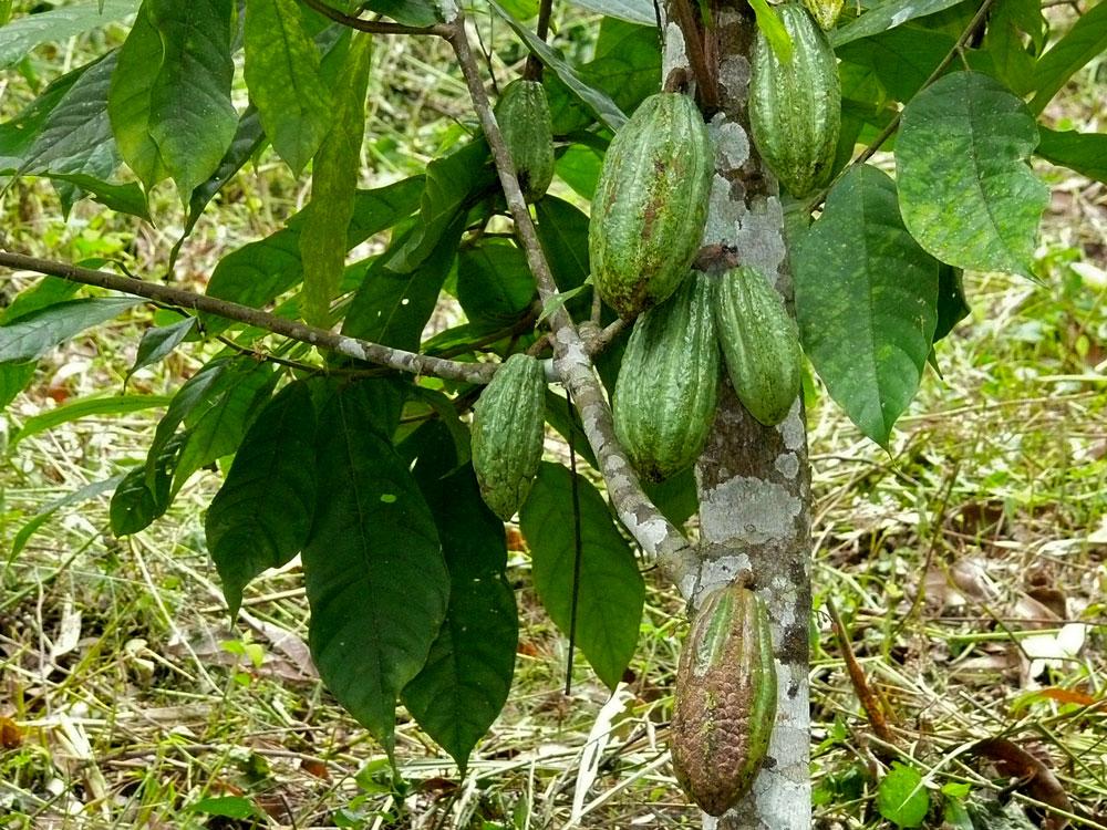 Kakaovník pravý