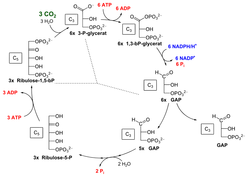 Schéma Calvinovho cyklu