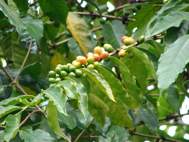 Kávovník arabský - plody