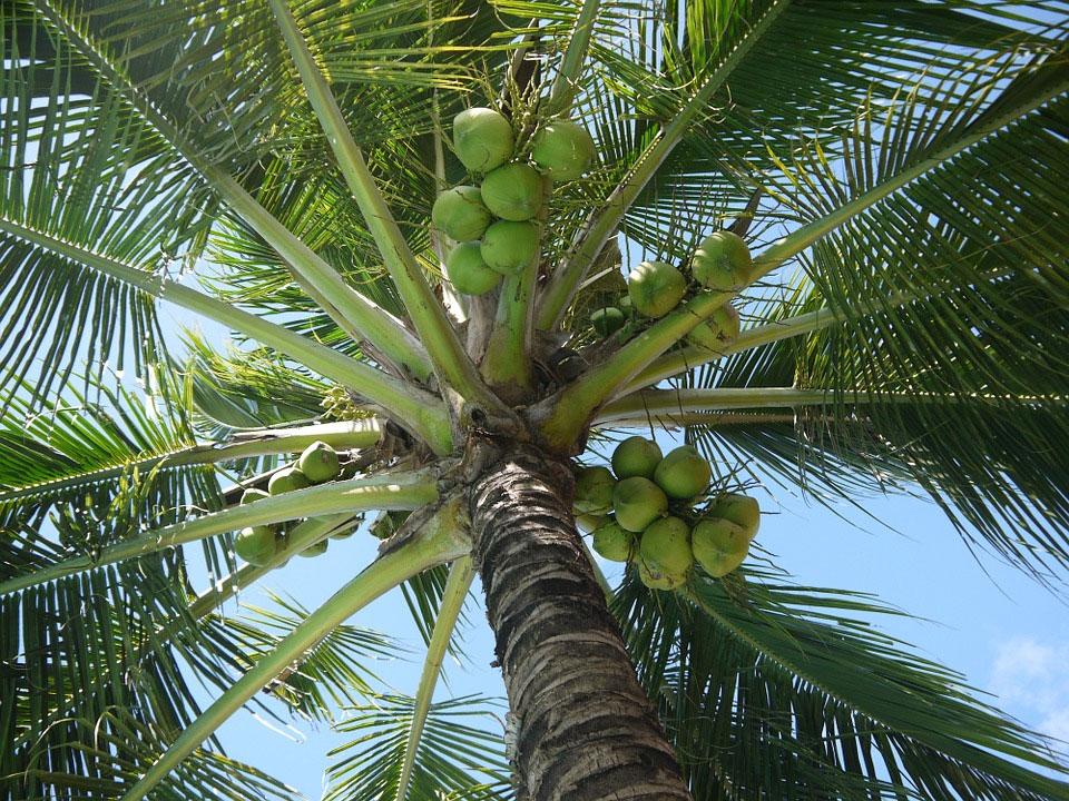 Kokosovník obyčajný