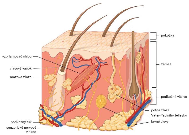 Štruktúra kože