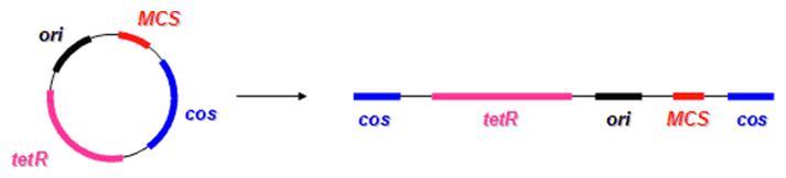 Cirkulárna a lineárna forma kozmidu