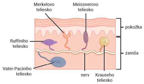 Receptory kože