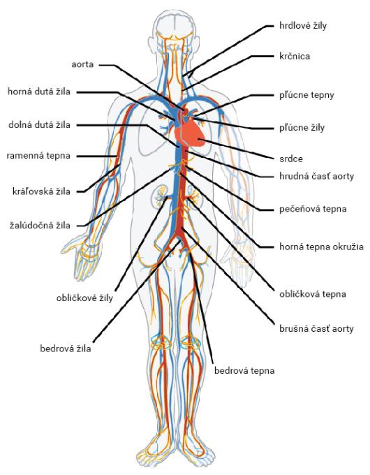 Krvné cievy