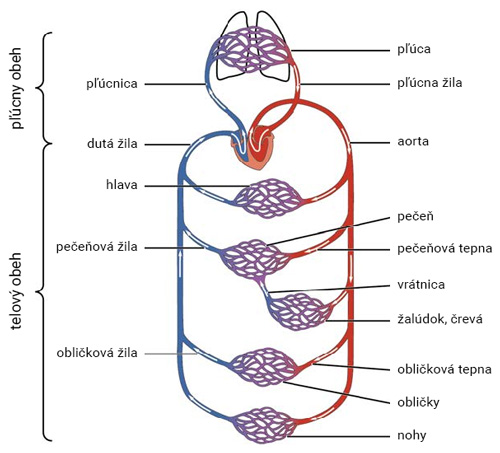 Schéma malého a veľkého krvného obehu