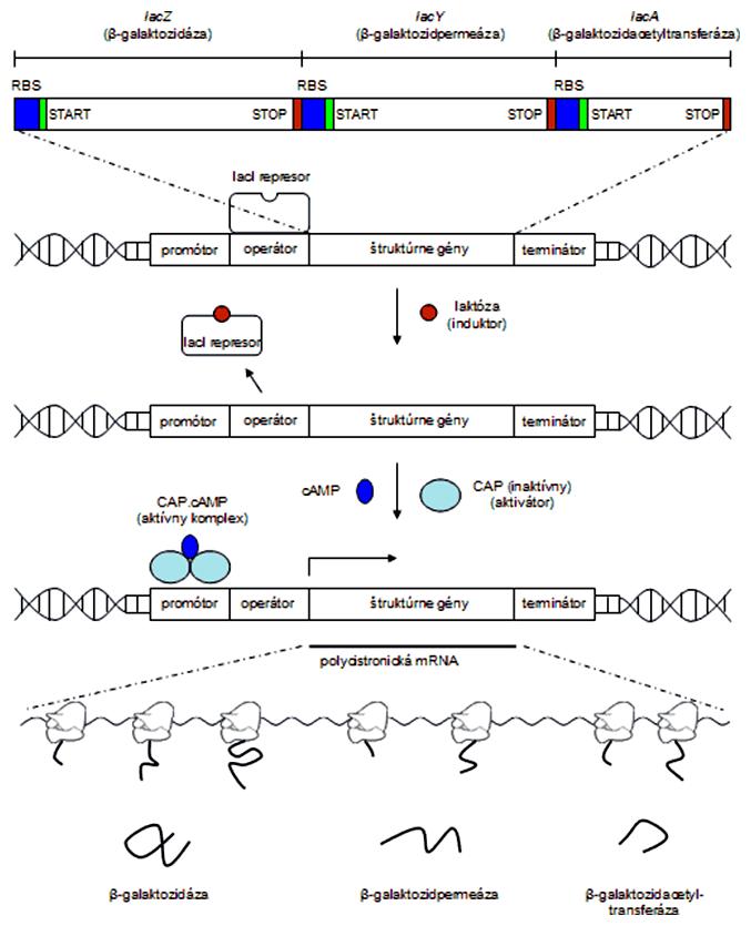 Schéma génovej expresie laktózového operónu