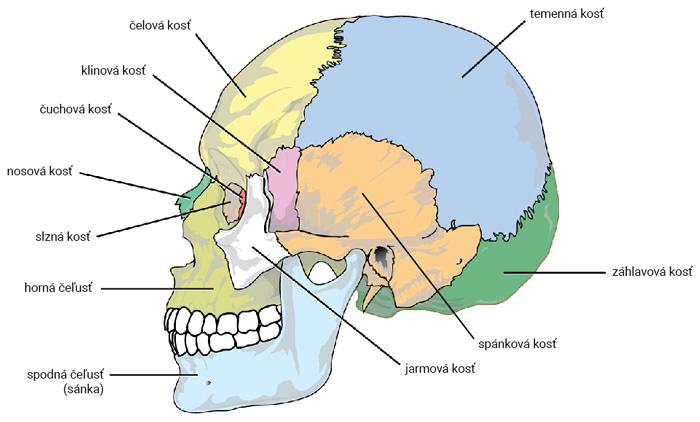Lebka (pohľad zboku)