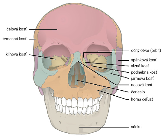 Lebka (pohľad spredu)