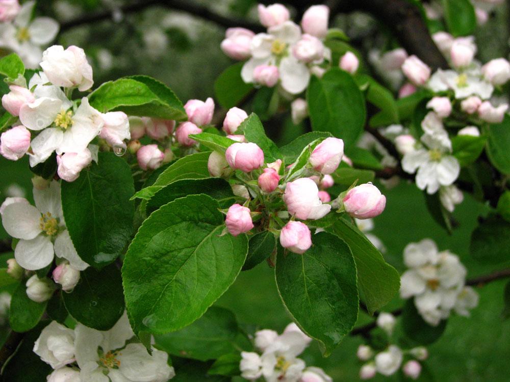 Jabloň domáca (Malus domestica)