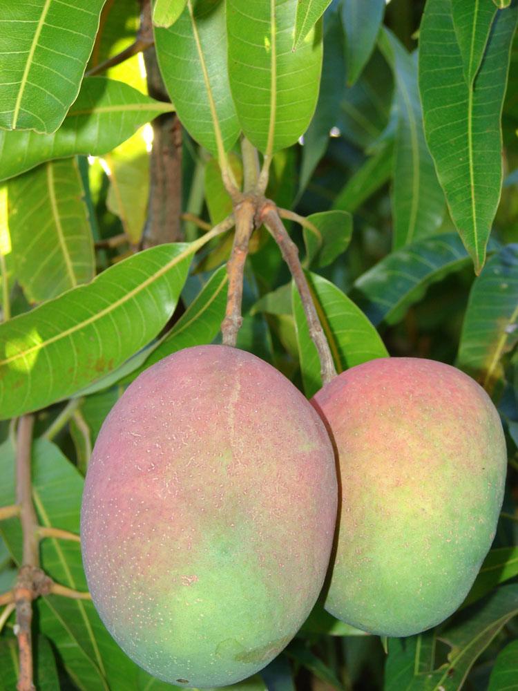 Mangovník indický