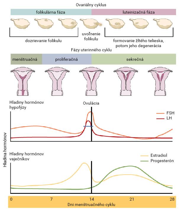 Grafické znázornenie menštruačného cyklu