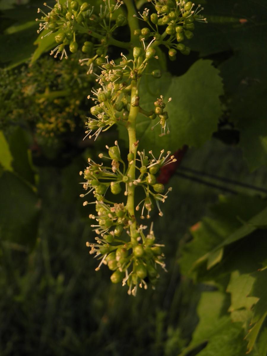 Metlina (vinič)
