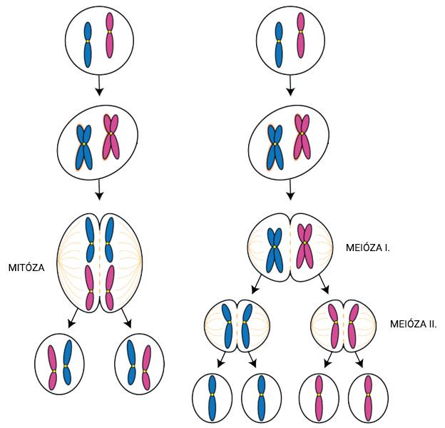 Porovnanie mitózy a meiózy
