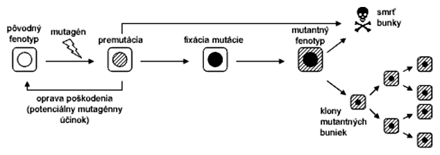 Schéma vzniku mutantného fenotypu