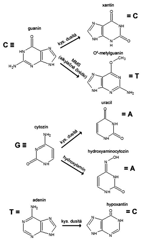 Účinok chemických mutagénov modifikujúcich bázy