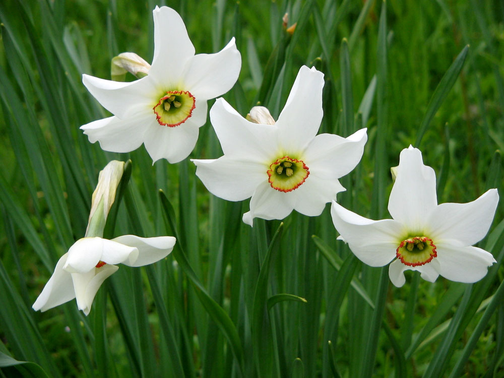 Narcis biely