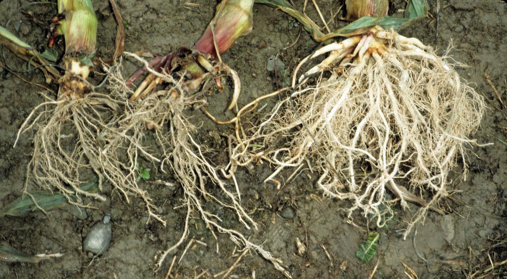 Nepravá koreňová sústava, homorízia (kukurica)
