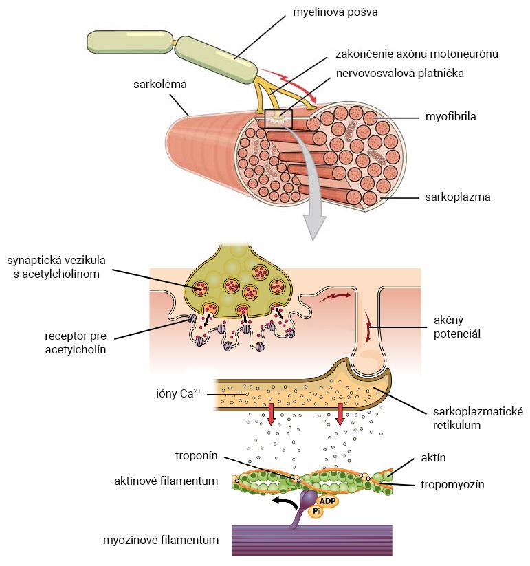 Detail nervovosvalovej platničky počas svalovej kontrakcie