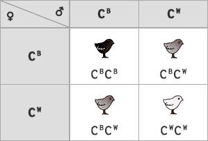 Vznik F2 generácie (fenotyp - 1 : 2 : 1)