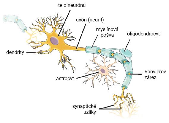 Štruktúra neurónu