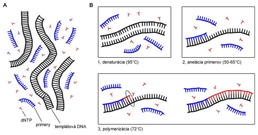 Zloženie reakčnej zmesi pre PCR a priebeh PCR