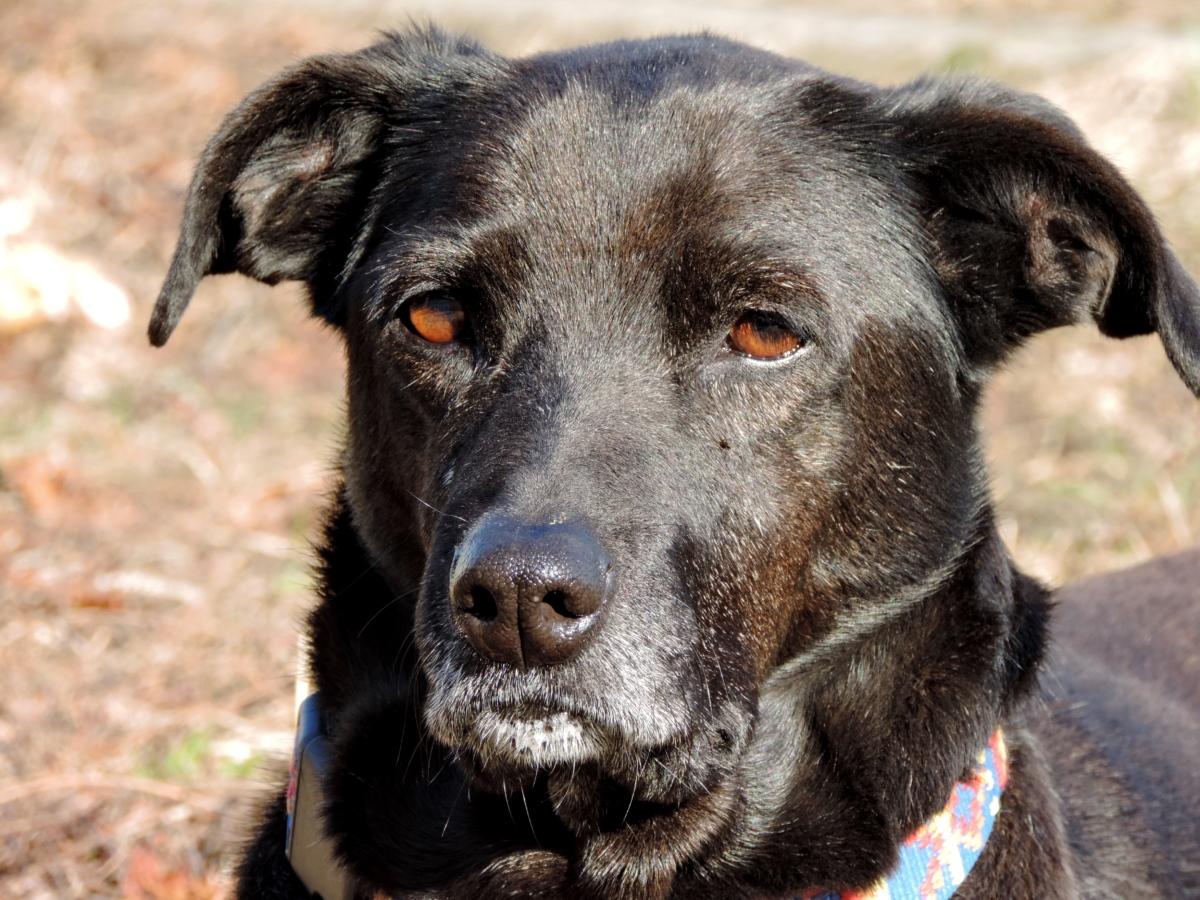 Pes domáci (Canis lupus f. familiaris)