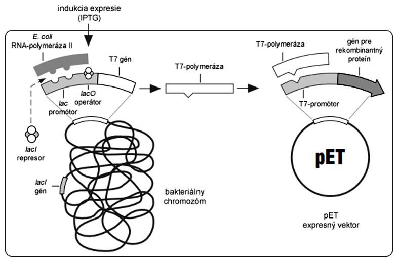 Schéma indukcie expresie rekombinantného proteínu v bakteriálnom expresnom systéme pET