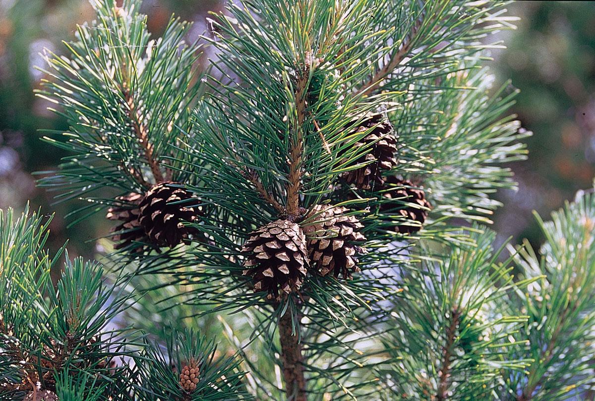 Borovica lesná - zástupca borovicorastov (ihličnany)