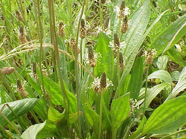 Skorocel kopijovitý (Plantago lanceolata)
