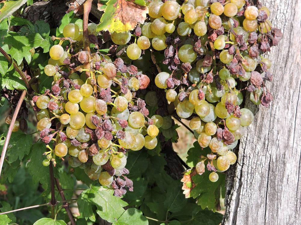 Plazmopara viničová na plode viniča