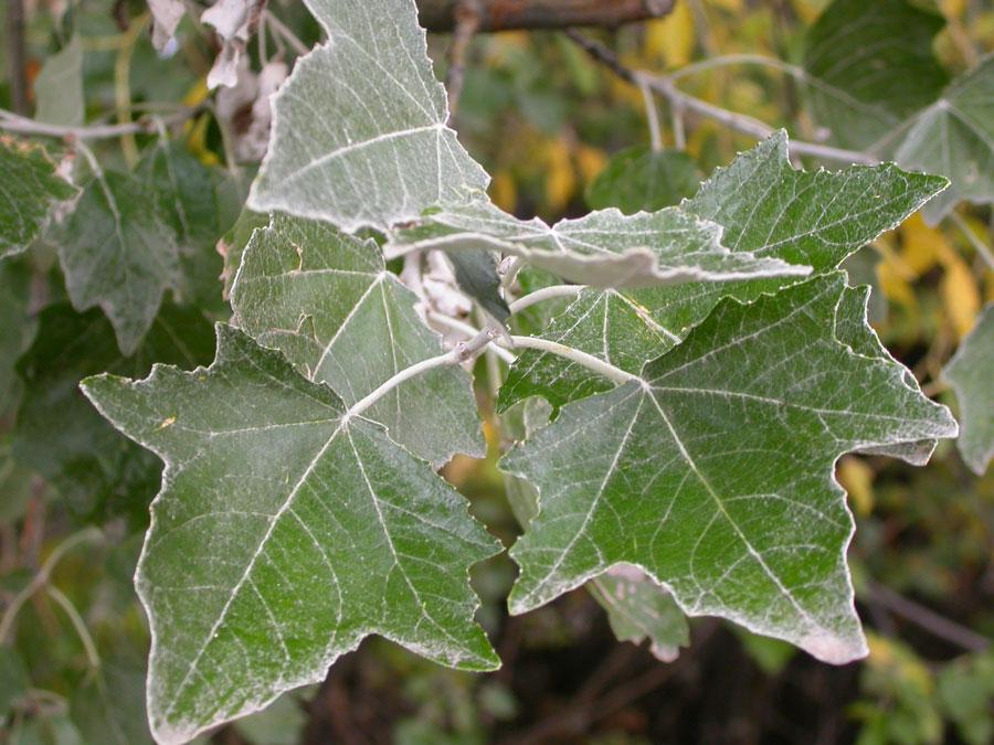 Topoľ biely (Populus alba)
