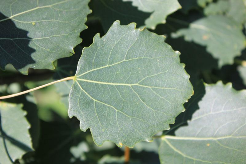 Topoľ osikový (Populus tremula)