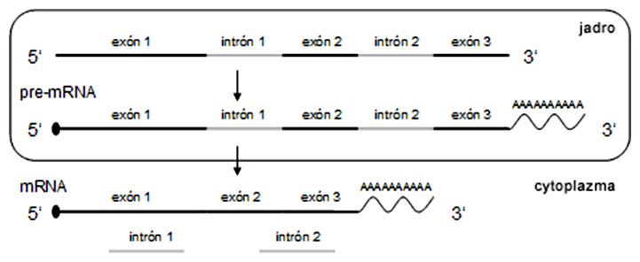 Posttranskripčné úpravy eukaryotického primárneho transkriptu