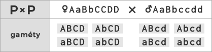 Schéma kríženia ♀ AaBbCCDD × ♂ AaBbccdd